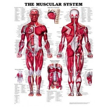 Chart - Muscular System Soft Laminated Poster Size