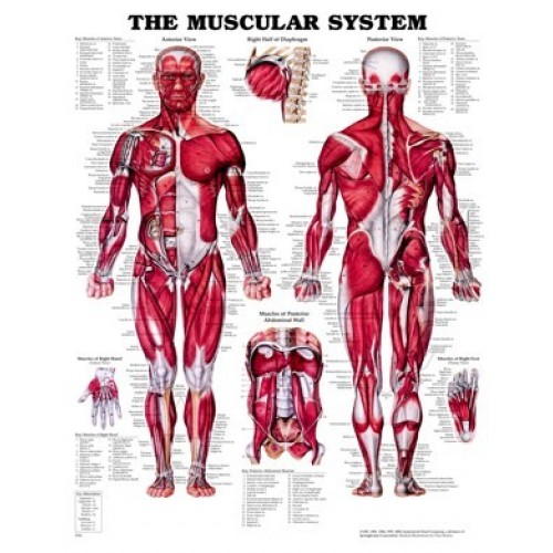 Muscular System Chart - Soft Laminated Giant Size