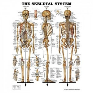 Skeletal System Chart - Soft Laminated Giant Size